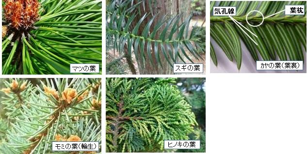 種類 針葉樹 薪の代表的な木の樹種の見分け方とおススメの活用法(その1)